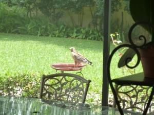 Not quite a Seahawk, but a still a hawk