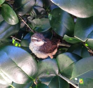 Carolina Wren hiding in bushes